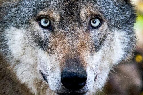 Hat am Freitag tatsächlich ein Wolf (Symbolfoto) in Heinsdorfergrund ein Reh angegriffen und getötet? Diese Frage ist weiter offen.