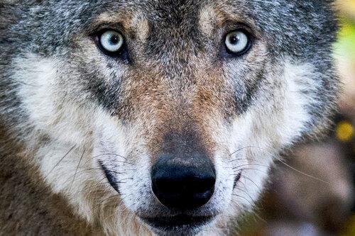 Ist der Wolf für den Menschen eine Gefahr?
