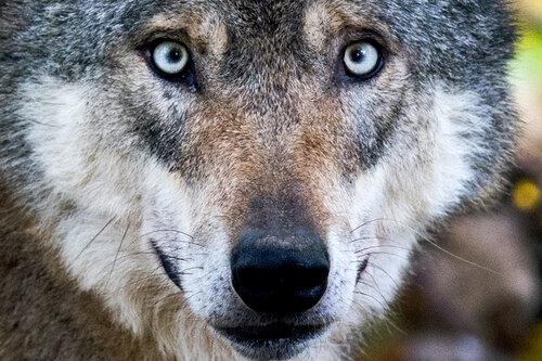 Wolf reißt zwei Alpakas im Erzgebirge