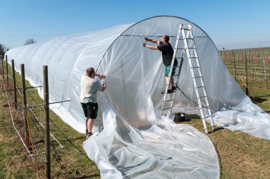 In Gröblitz reifen bald Himbeeren unter 90 Meter langem Folientunnel