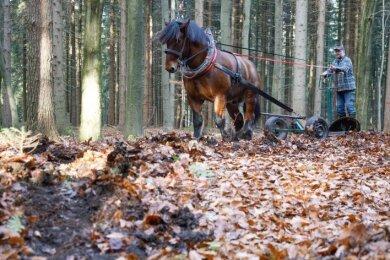 Lukas Meinhold beim Furchenziehen im Gelenauer Forstrevier, wo in den letzten Wochen Weißtannensamen ausgebracht wurden.
