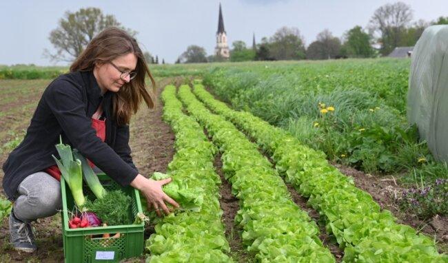 Yvonne Graunitz betreibt einen Bio-Landgarten in Burgstädt, hier bei der Ernte von Kopfsalat.