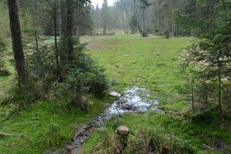 Blick ins Hochmoor. Ein neuer Damm hält das Wasser zurück und schützt das Biotop vor dem Austrocknen. Die Fichten im Feuchtgebiet werden absterben.