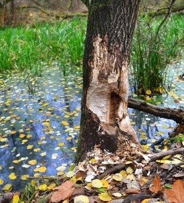 Deutlich zu sehen sind dort an Bäumen noch die Spuren des Bibers.