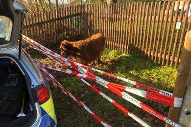 Ein unternehmungslustiges Kalb wurde am Freitag von Polizisten in Auerbach gestoppt.