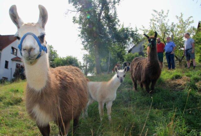 Lamas halten eine Wiese in Ruppertsgrün in Ordnung. Ein Landwirt aus Neumark verleiht die Exoten.
