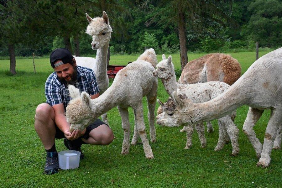 Marco Schönherr füttert seine Alpakas auf einer Wiese im Tauraer Ortsteil Köthensdorf. Nebenan verläuft der Chemnitztalradweg. Die Tiere fressen nur Gras oder Heu. Deshalb bittet Schönherr, das Füttern zu unterlassen.
