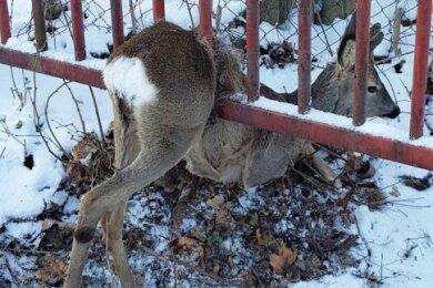 Ein Rehbock hat sich am Montag vergangener Woche in Aue-Bad Schlema in einem Tor eingeklemmt.