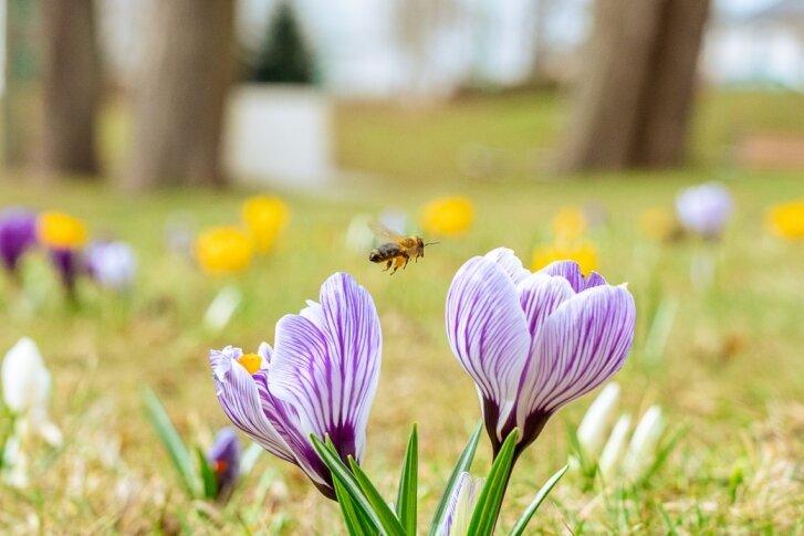 Bienen tanken Nektar auf Krokuswiese am Feuerwehrplatz