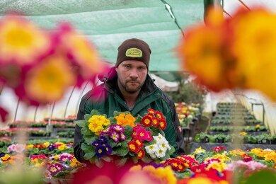 Bei Patrick Böhme, Chef des Lunzenauer Garten- und Landschaftsbaubetriebes, blühen zurzeit die Primeln in den verschiedensten Farben. Verkauft werden können sie nur in der Gärtnerei, weil Baumärkte und Gartencenter wegen Corona geschlossen haben. Im Frühjahr 2020 landeten 30.000 Stiefmütterchen auf dem Kompost.