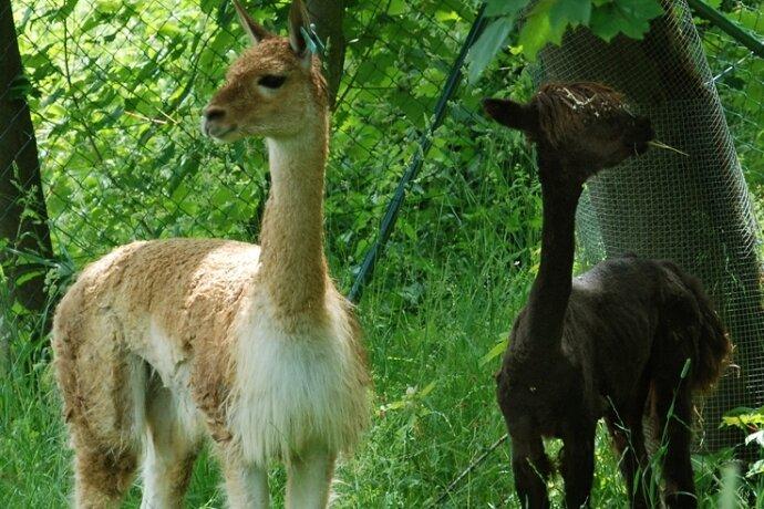 """<p class=""""artikelinhalt"""">Das einjährige Vikunja (links) aus Frankreich mit dem Alpaka aus dem Zoo Halle in ihrem Klingenthaler Gehege.</p>"""