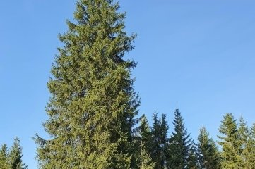 Der Baum steht noch im Forstbezirk Adorf.