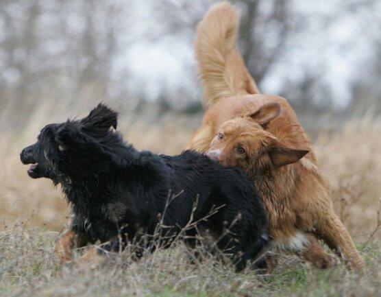 Auf der Hundewiese werden Kontakte geknüpft, das Sozialverhalten gefördert und mit Artgenossen getobt. Die Tiere müssen aber immer im Blick behalten und erforderlichenfalls zur Ordnung gerufen werden.