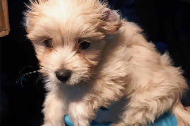 Dieser Bichon-Welpe wurde in einem Mercedes Sprinter in Reitzenhain entdeckt. Der Fahrer konnte für das Tier keine Unterlagen vorweisen. Der Hund wurde in ein Tierheim gebracht.