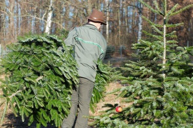 Nordmanntannen stehen auch in diesem Jahr wieder hoch im Kurs. Viele Weihnachtsbaumplantagen im Vogtland bieten diese Baumart zum Selberschlagen und Mitnehmen an.
