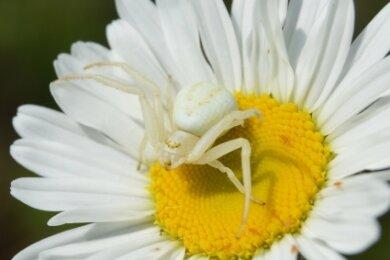 Die Krabbenspinne vermag sich bei ihrer Jagd auf Beute ihrer Umgebung optisch recht gut anzupassen.