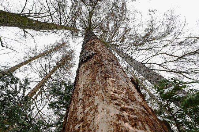 Etliche Fichten im Limbach-Oberfrohnaer Stadtpark sind durch Borkenkäfer massiv beschädigt worden. Deshalb lässt die Stadtverwaltung die Bäume bis Ende des Monats fällen.