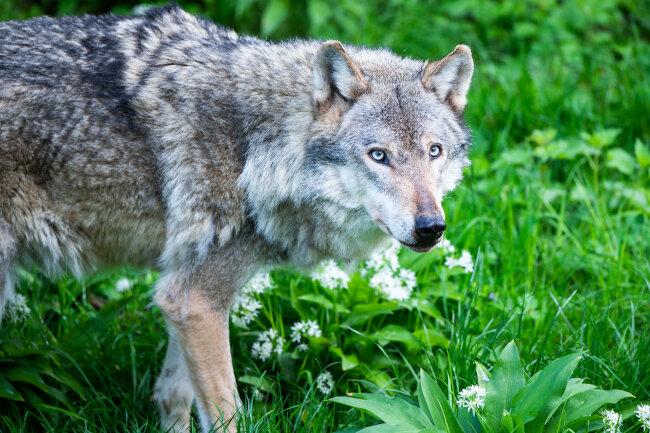 Wolf oder Hund? Für den Laien ist das oft schwer zu entscheiden.