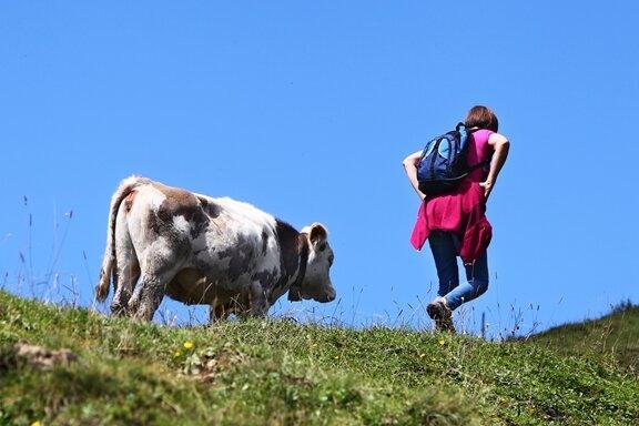 Tödliche Kuh-Attacken - Rinder im Stress