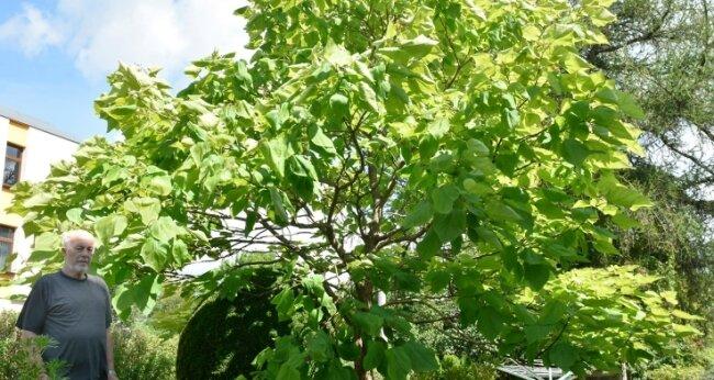 Jürgen Weberchen aus Klingenthal hat in seinem Garten einen riesigen Trompetenbaum, neben dem er wie ein Zwerg wirkt.