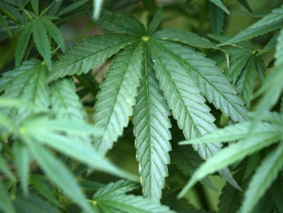 Hanf-Pflanzen (Cannabis) wachsen in einem Garten.