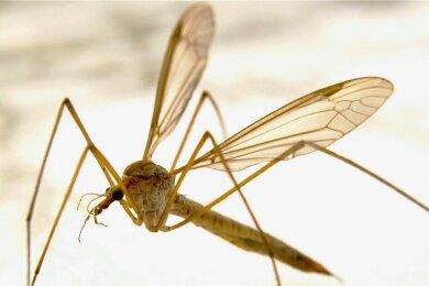 Die Anopheles gehört zu den Stechmückenarten, die fähig sind, Malaria zu übertragen.