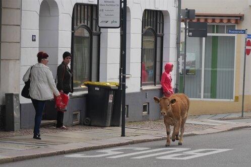 Das junge Rind ist am Dienstagvormittag auf seiner Flucht quer durch die Innenstadt von Mittweida auch auf der Rochlitzer Straße gesichtet worden. Hier standen zufällig Reporter des Hochschulradiosenders 99drei. Ihnen gelang dieser Schnappschuss.