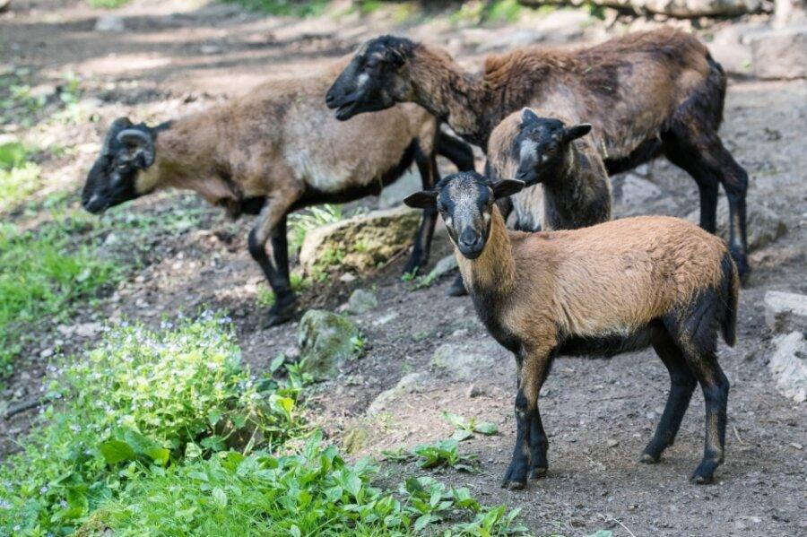 Bei den Kamerunschafen, die sich im Peniger Naturpark Köbe mit den Zwergziegen ein Gehege teilen, gibt es Jungtiere. Besucher des Köbefestes können sie und viele andere Tiere am Sonntag anschauen.