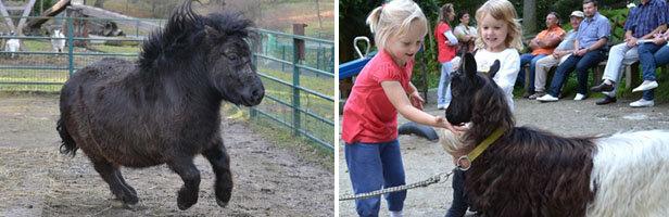 Freiberger Tierpark verordnet Pony Lauftraining