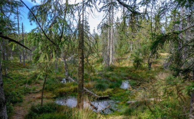 Der Kleine Kranichsee bei Johanngeorgenstadt gilt als herausragendes Beispiel für gelungene Moor-Revitalisierung. Insgesamt sind im Erzgebirge in den letzten Jahren rund 700 Hektar der wertvollen Biotope wieder zu Leben erweckt worden. Das ist aber nur ein Bruchteil der ursprünglich vorhandenen Moore.