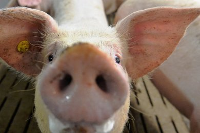 Weltweit werden immer mehr Schweine geschlachtet.