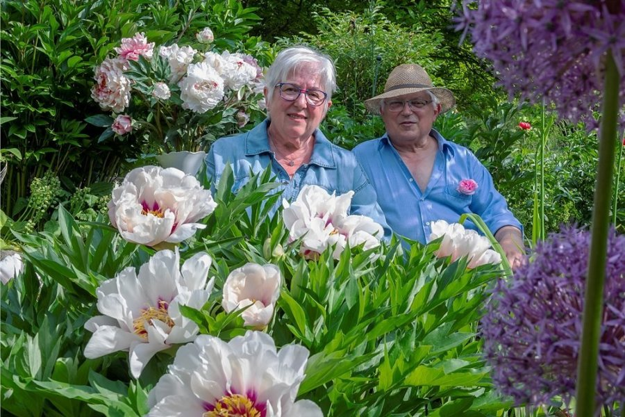 Blütenpracht, wohin das Auge blickt: Im Garten von Monika und Günther Quasdorf in Freital ist Pfingstrosenzeit. Die Sorte Cora Luise prahlt jetzt mit großen ungefüllten Blüten. Im Herbst färbt sich das Laub rötlich ein.