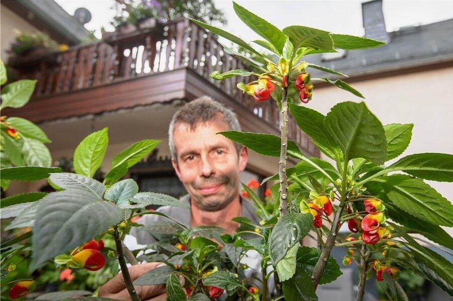 André Hering und seine Gartenexoten: Die Papageienpflanze verdankt den Namen ihren Blüten, die dem Schnäbeln der bunten Vögel ähneln.