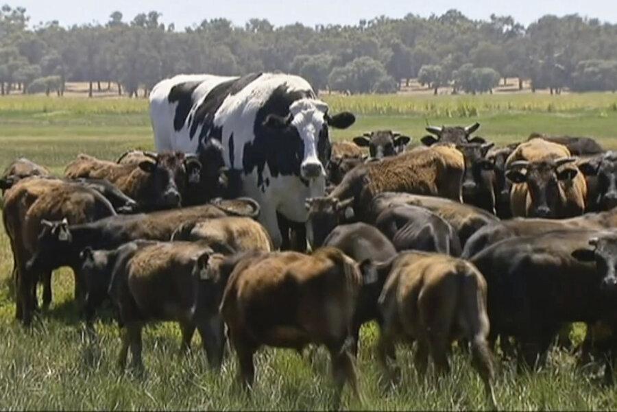 In diesem Bild, das aus einem Video gemacht wurde, steht der Ochse «Knickers», ein großer Holsteiner-Friese, (M) mit einer Rinderherde auf einer Weide.