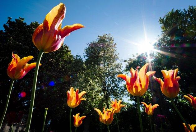 Tulpen sollen Gäste von Landesgartenschau begrüßen