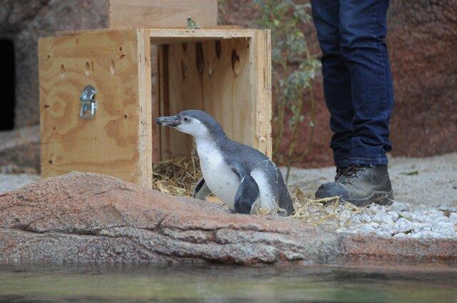 Pinguine Erobern Neue Anlage Im Tierpark Limbach Oberfrohna Freie