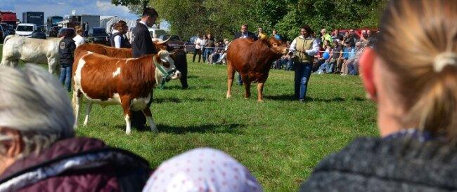 Tierpräsentationen wie hier die Fleischrinderschau zählten in den Vorjahren zum Programm des Erntedankfestes in Altmittweida.
