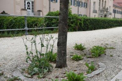 So sah es im Sommer 2020 an der Badstraße in Bad Elster aus: Ungewolltes Grün sprießt aus glyphosatfreien Wegen.