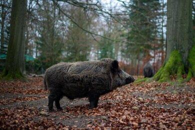 Ein Wildschwein steht in ein einem Wald.