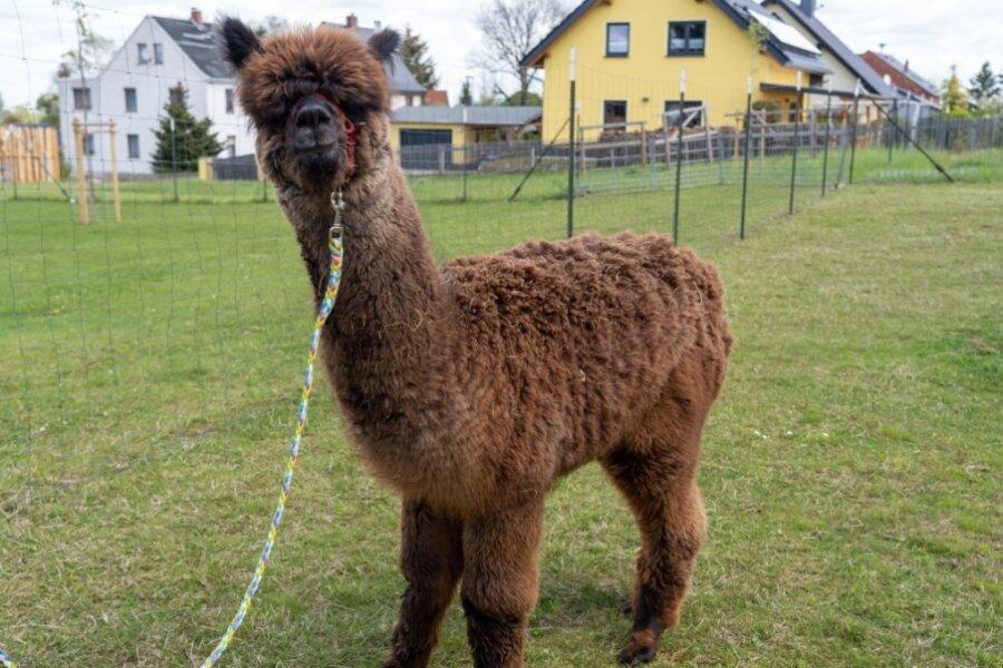 Alpaka schaut verdutzt: Frisch geschoren um mehr als drei Kilogramm leichter