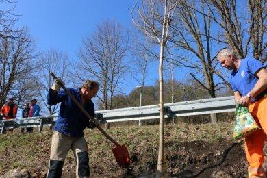 Rainer Richter (links) und Gerd Chalupka haben in dieser Woche an der Zufahrt zum Pausaer Freibad Lücken in der dortigen Baumallee durch Neuanpflanzungen gefüllt. Kastanien kamen in die Erde.
