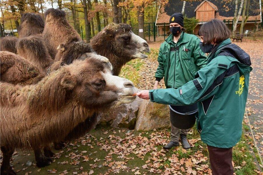 Tierpark im Lockdown: Leiterin Anja Dube und Zoopädagoge Jan Klösters beim Füttern der Kamele.