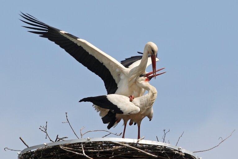 Waldenburger drücken Daumen für ersten Storchennachwuchs