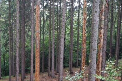 Entlang des Zufahrtsweges zum Anton-Günther-Berghaus ist zu sehen, in welchem Umfang der Borkenkäfer die Bäume befallen hat.