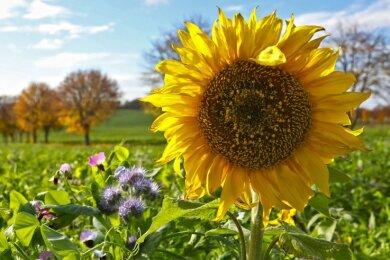 Nicht nur ein Hingucker: Auf Blühflächen in der Region sollen Wildbienen und andere Insekten Nahrung finden. Der Regionalbauernverband Westsachsen sucht deshalb Bienenpaten.