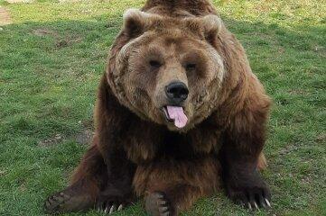 Bär Fridolin bettelte oft mit heraushängender Zunge.
