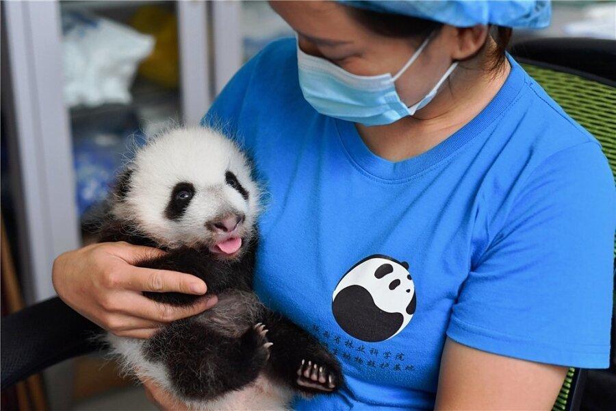 Chinesisches Pandababy erstmals vor der Kamera