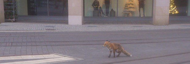 Plauen: Fuchs tummelt sich am Tunnel