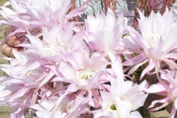 Der Kaktus von Gert Greller hat 30 Blüten, ist aber keine Königin der Nacht.
