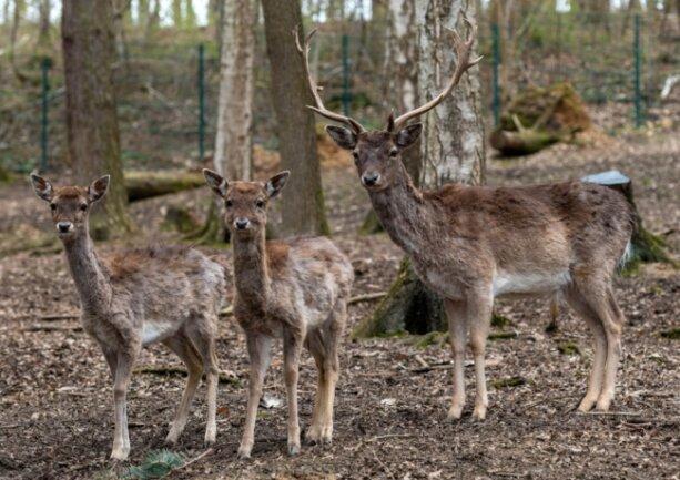 Bei den Damhirschen in der Peniger Köbe wird ab Mai Nachwuchs erwartet. Zehn dieser Tiere können zurzeit im Naturpark angeschaut werden. Der Damwild-Stall soll in den nächsten Wochen erneuert werden und ein neues Dach bekommen.
